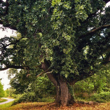 Kőkút óriás fa